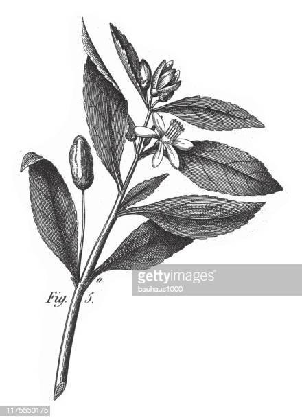 citron, various plants of economic importance including tea, wine-grape, cotton and cacao engraving antique illustration, published 1851 - lemon grass stock illustrations