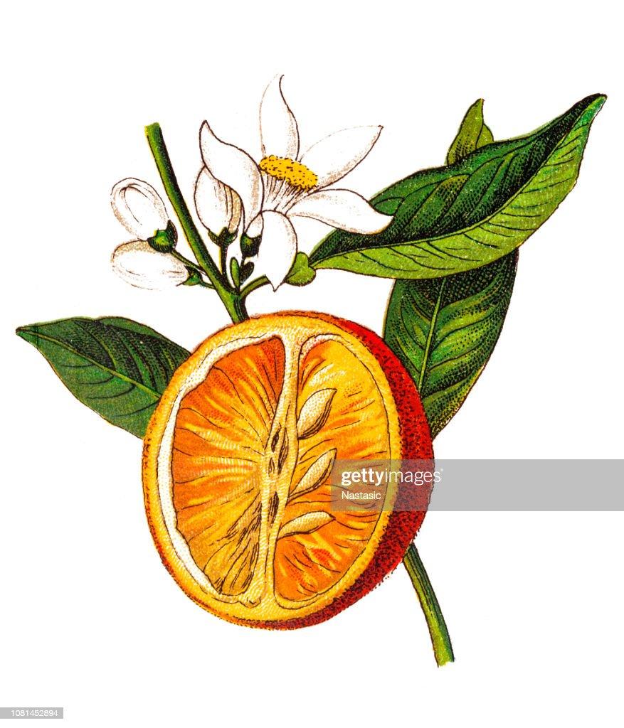 Citrus aurantium (naranja amarga, naranja de Sevilla, naranja agria, naranja bigarade, mermelada de naranja) (Citrus vulgaris) : Ilustración de stock