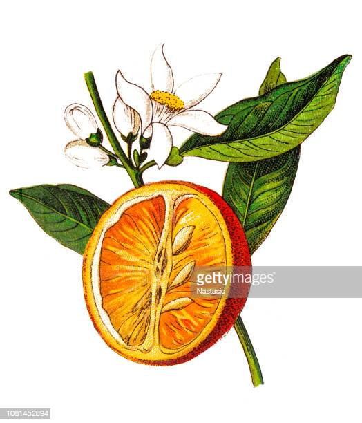 illustrations, cliparts, dessins animés et icônes de citrus aurantium (orange amère, orange de séville, orange amère, orange bigarade, marmelade d'orange) (citrus vulgaris) - film d'archive