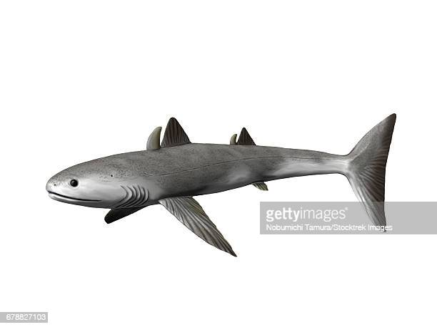 Cladoselache fyleri is an extinct shark from the Late Devonian period.