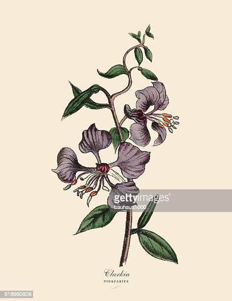 Clarkia and Pinkfaries Plants, Victorian Botanical Illustration