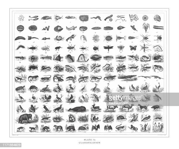 stockillustraties, clipart, cartoons en iconen met classificatie van diersoorten gravure antieke illustratie, gepubliceerd 1851 - 19e eeuwse stijl