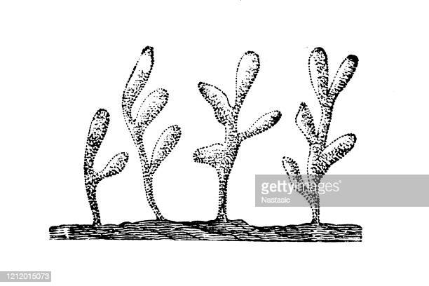 clathrina coriacea is a species of calcareous sponge belonging to the family clathrinidae - sea squirt stock illustrations