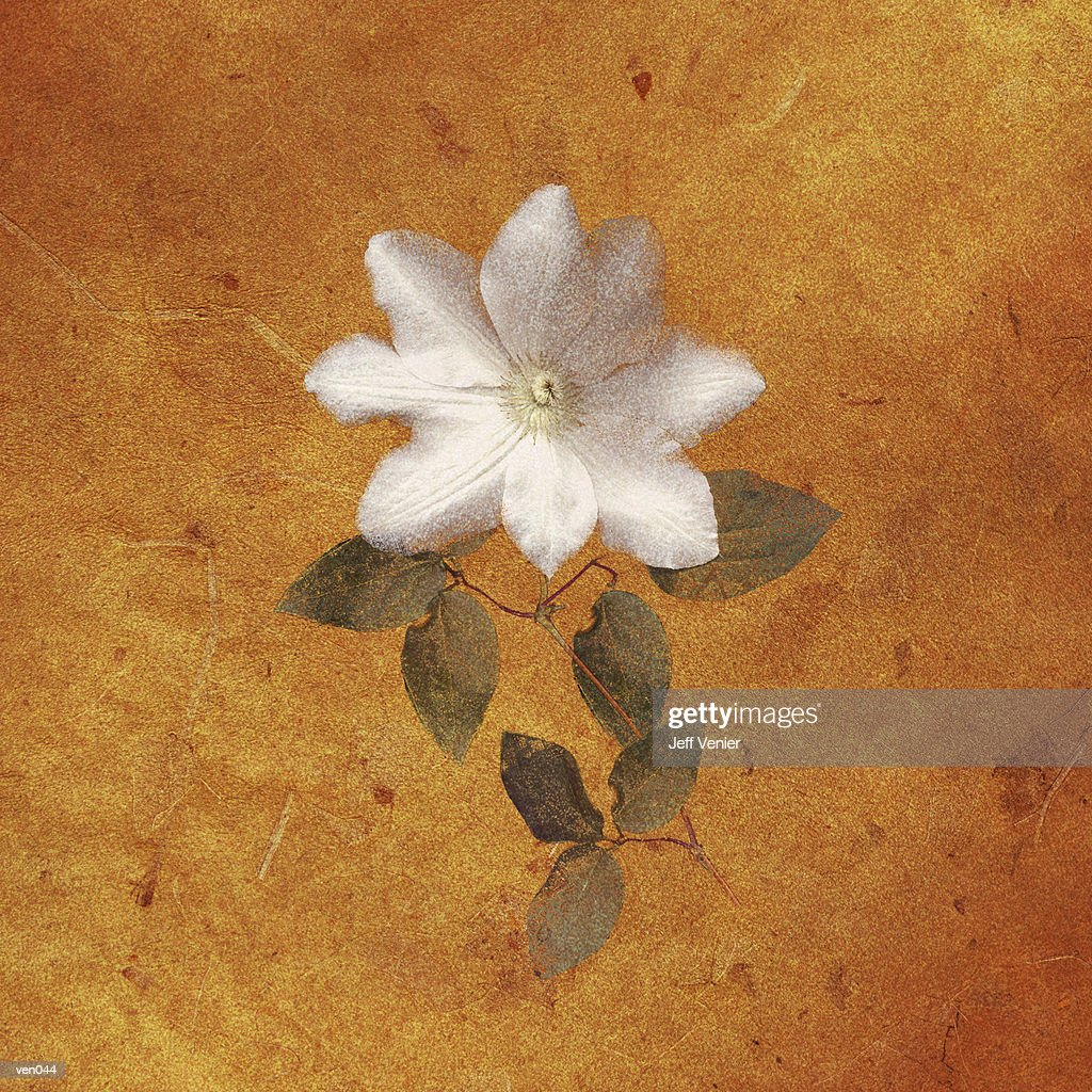 Clematis Blossom : Stock Illustration