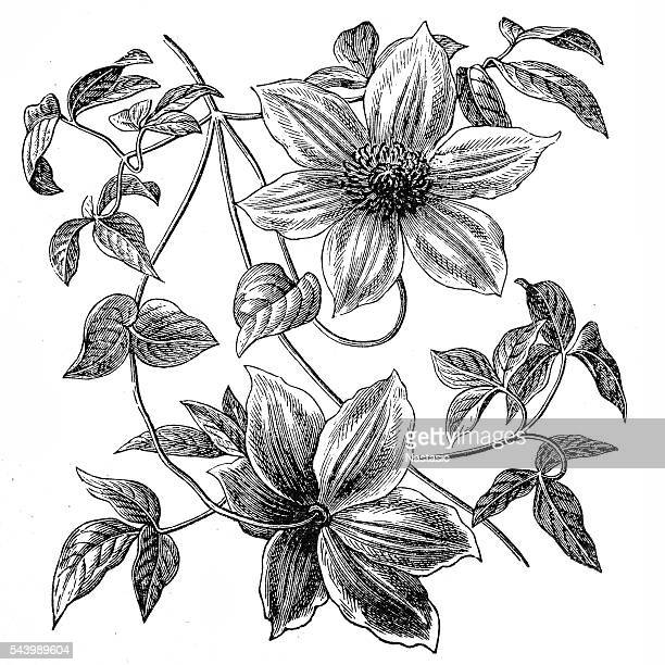 clematis flowers - deciduous tree stock illustrations, clip art, cartoons, & icons