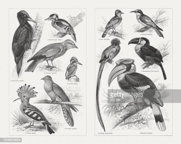 Escalada aves, grabados en madera, publicado en 1897
