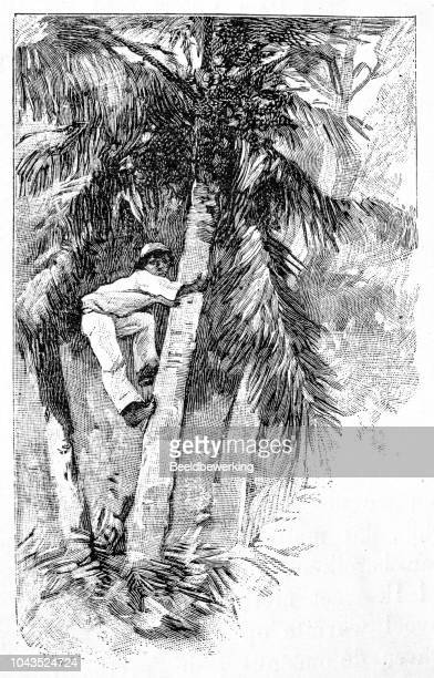 climbing up coconut palmtree on seychelles illustration 1895 'the earth and her people' - coconut oil stock illustrations, clip art, cartoons, & icons