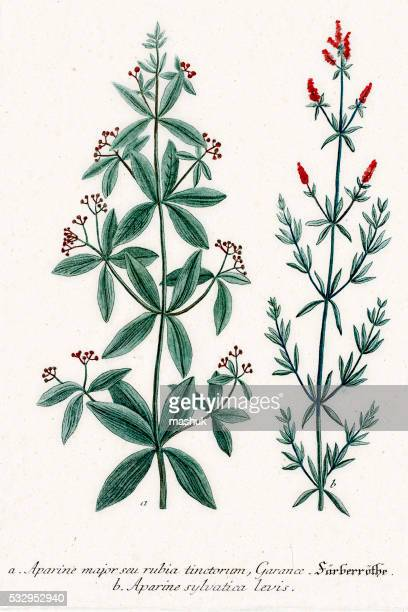 Clivers or Aparine medicinal herbs and tonic