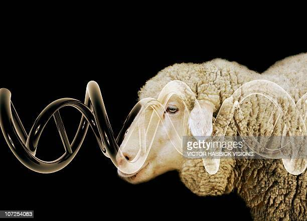 cloned sheep, conceptual image - genetic modification stock illustrations, clip art, cartoons, & icons