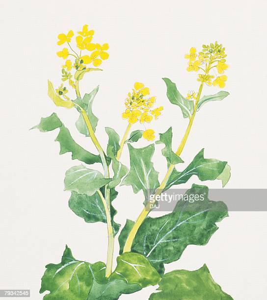 60点の菜の花のイラスト素材クリップアート素材マンガ素材アイコン