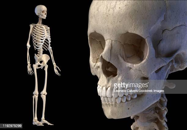 close-up of human skull with full skeletal system, black background. - menschlicher zahn stock-grafiken, -clipart, -cartoons und -symbole