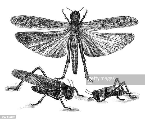 Close-up of migratory locusts
