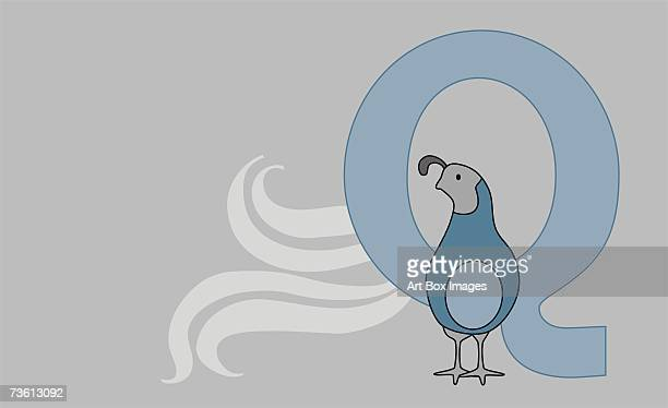 close-up of the letter q with a quail - quail bird stock illustrations, clip art, cartoons, & icons