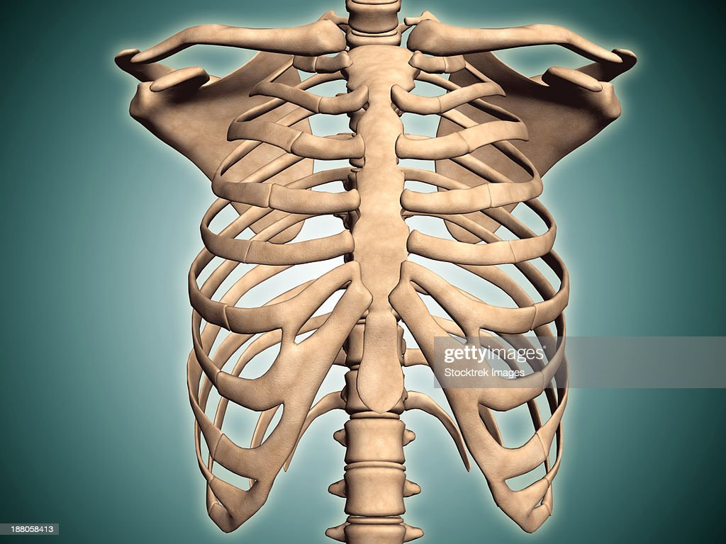 Closeup View Of Human Rib Cage Stock Illustration Getty Images