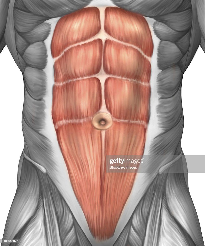 Close-up view of male abdominal muscles. : stock illustration