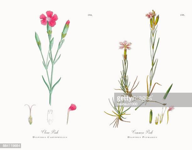 clove pink, dianthus caryophyllus, victorian botanical illustration, 1863 - plant bulb stock illustrations
