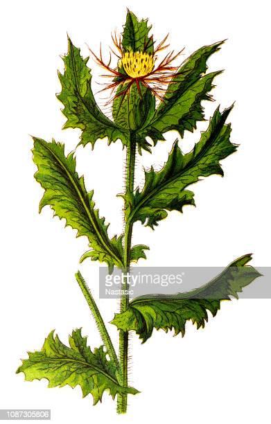 cnicus benedictus (st. benedict's thistle, blessed thistle, holy thistle or spotted thistle) - thistle stock illustrations, clip art, cartoons, & icons