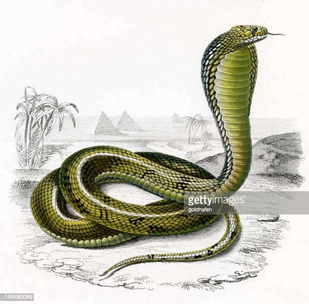 ilustraciones, imágenes clip art, dibujos animados e iconos de stock de cobra, de la histórica ilustración, 1849 - cobra