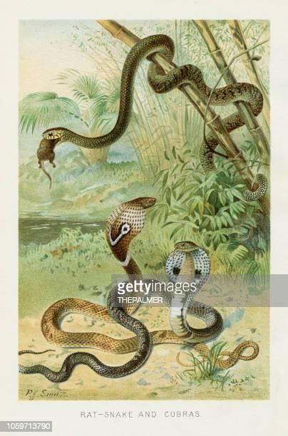 ilustraciones, imágenes clip art, dibujos animados e iconos de stock de cromolitografía de serpiente cobra 1896 - cobra