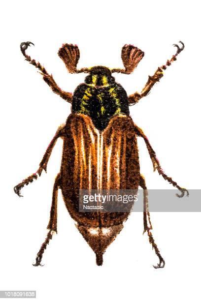 ilustraciones, imágenes clip art, dibujos animados e iconos de stock de cockchafe (melolontha vulgaris - cucarachas