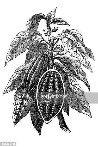 cocoa bean - bean stock illustrations