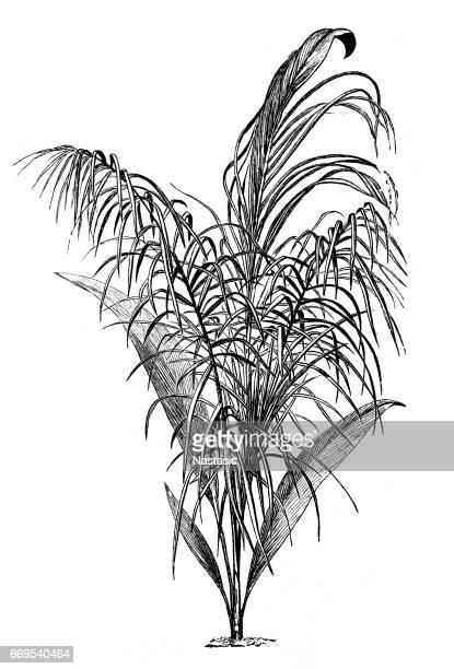 cocoa palm (cocoa nexuosa) - coconut palm tree stock illustrations, clip art, cartoons, & icons