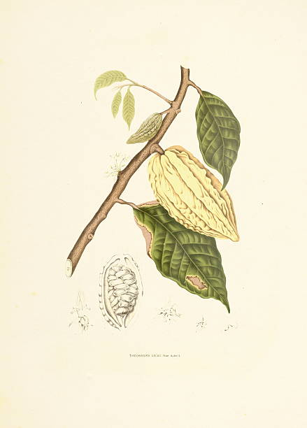 Cocoa tree   Antique Plant Illustrations