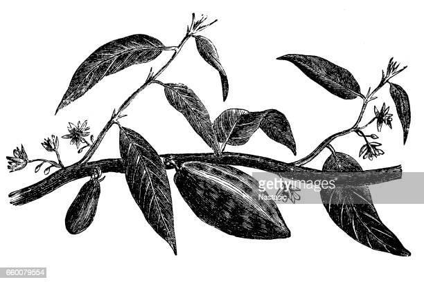 ilustrações, clipart, desenhos animados e ícones de árvore de cacau - feijão