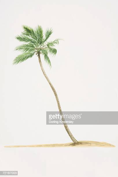 Cocos nucifera, Coconut Palm tree with trunk growing diagonally out of ground.