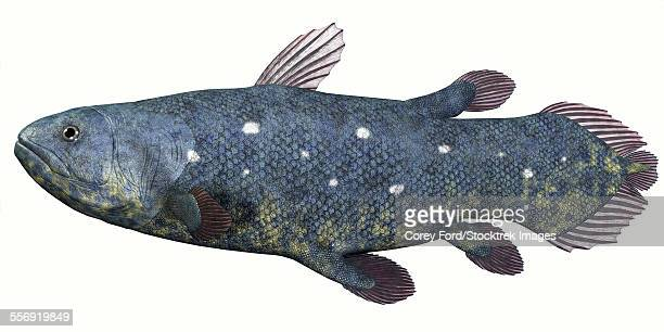 ilustraciones, imágenes clip art, dibujos animados e iconos de stock de coelacanth fish was thought to be extinct but several living specimens have found to still exist in tropical seas. - paleobiología