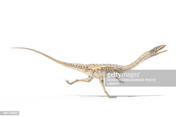 Coelophysis skeleton, illustration