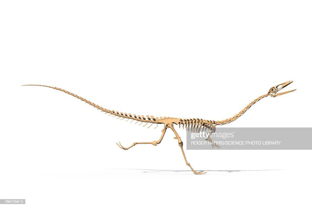 Coelophysis skeleton, illustration : stock illustration