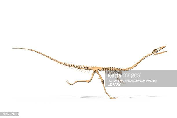 Coelophysis skeleton, illustration