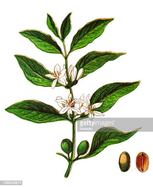 coffea arabica ,also known as the ,coffee shrub of arabia, mountain coffee, or arabica coffee - roasted coffee bean stock illustrations