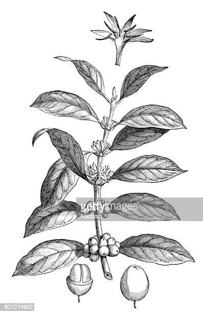 Coffea arabica ,also known as the ,coffee shrub of Arabia, mountain coffee, or arabica coffee