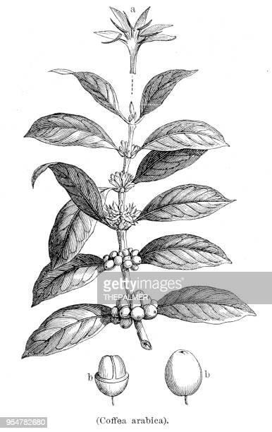 Coffee plant botanical engraving 1894