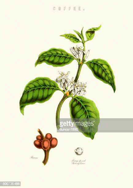 coffee plant - roasted coffee bean stock illustrations