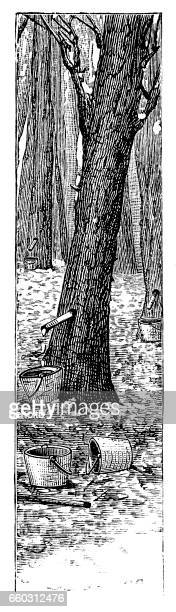 collecting sap from maple trees - maple syrup stock illustrations