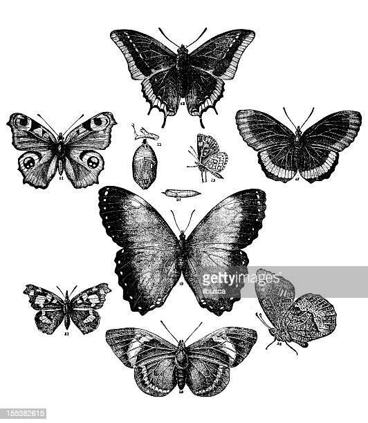 ilustrações, clipart, desenhos animados e ícones de coleção de borboletas - zoologia