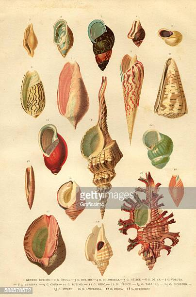 Collection of different snail shells mollusk engraving