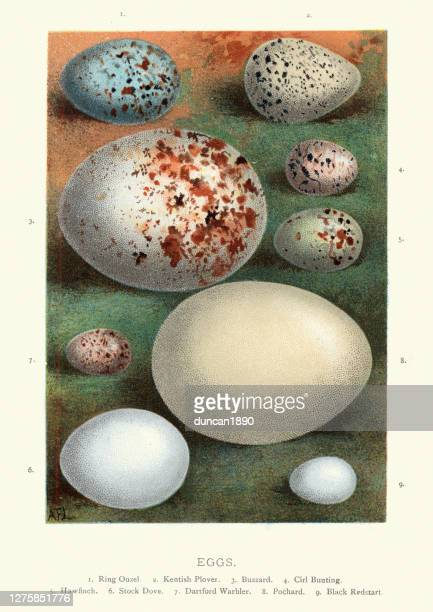 collection wild birds eggs, ouzel, plover, buzzard, bunting, hawfinch, dove - kentish plover stock illustrations