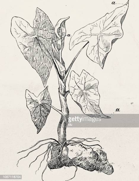Colocasia esculenta, planta de baro