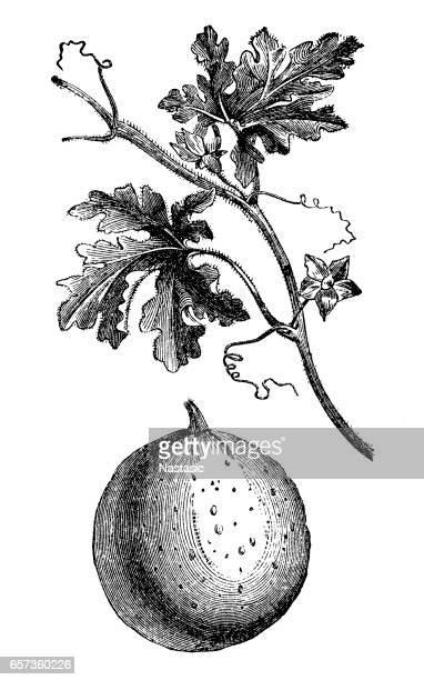colocynth,bitter apple,bitter cucumber, desert gourd, egusi, vine of Sodom, or wild gourd