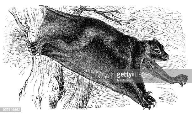 colugo (galeopithecus rufus) - lemur stock illustrations, clip art, cartoons, & icons
