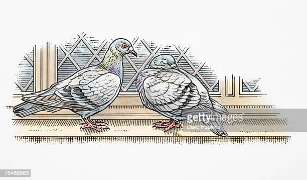 Columbiformes, Two Domestic Pigeons perched on windowsill, side view