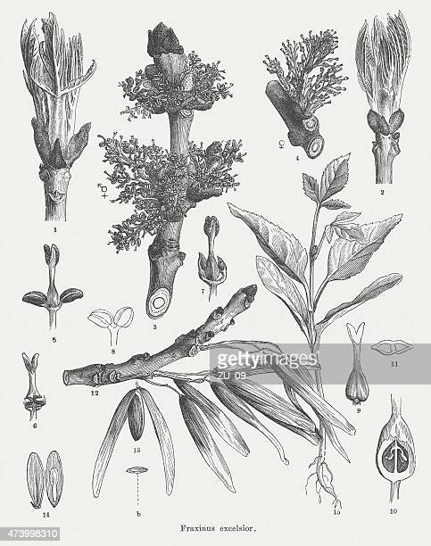 common ash (fraxinus excelsior), wood engravings, published in 1875 - ash stock illustrations, clip art, cartoons, & icons