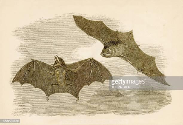 Common bats engraving 1851