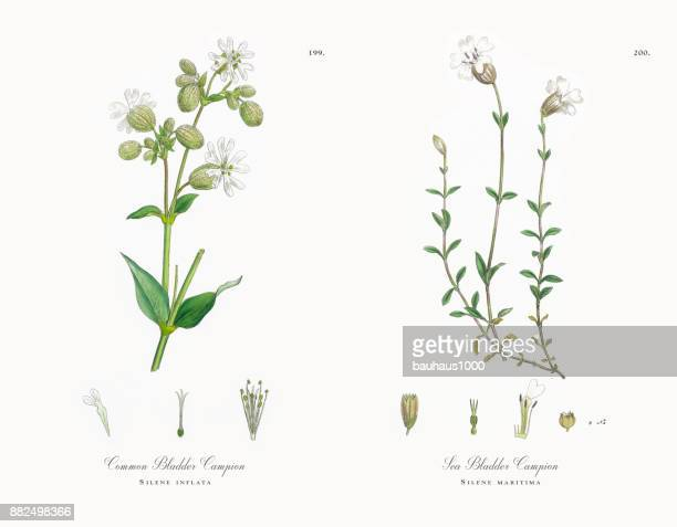 common bladder campion, silene inflata, victorian botanical illustration, 1863 - perennial stock illustrations, clip art, cartoons, & icons