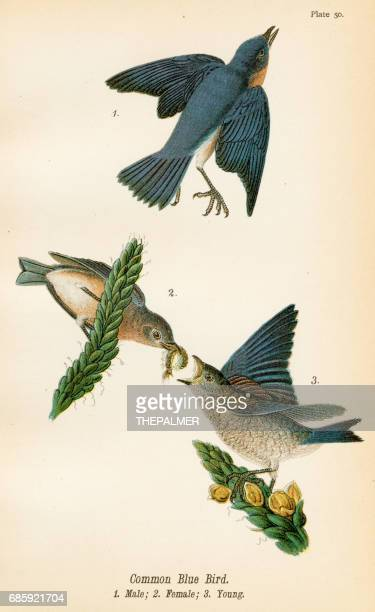 Common blue bird lithograph 1890
