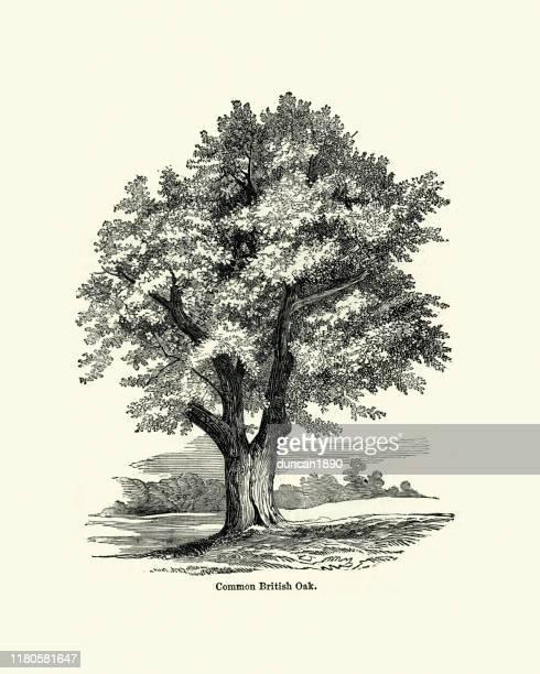 common british oak tree - engravement stock illustrations